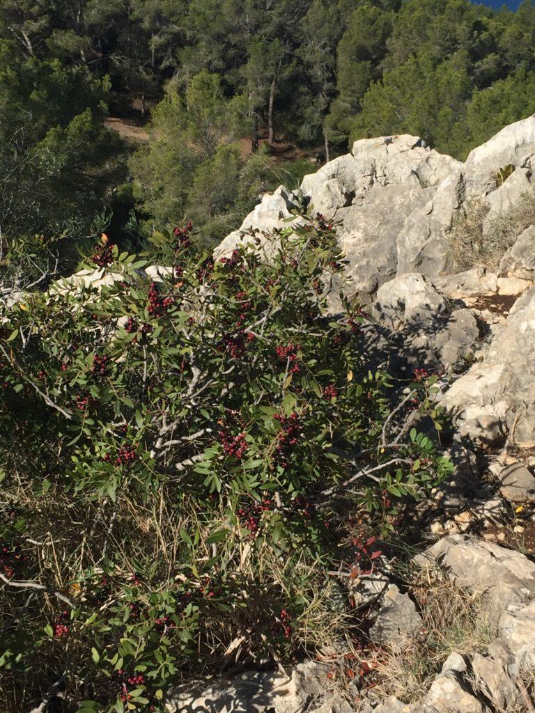 Auf in die Steinzeit zum Puig de Sa Morisca - typische Mittelmeerraum-Pflanzen