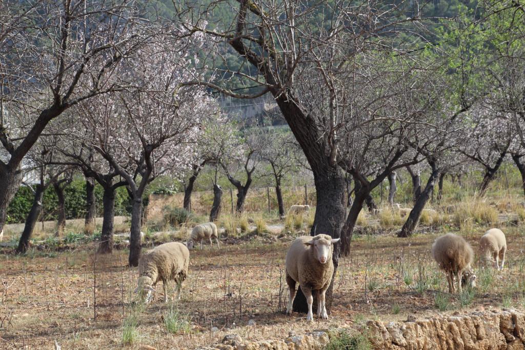 Mandelblüte auf Mallorca - Schafe unter Mandelblüten