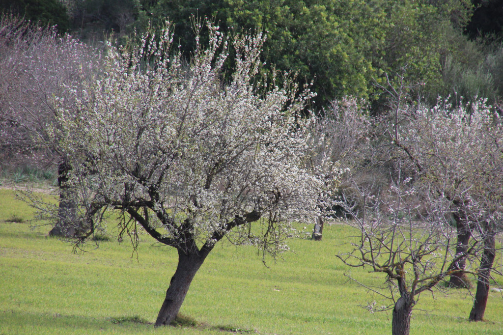 Mandelblüte auf Mallorca - rosa und weiß blühend