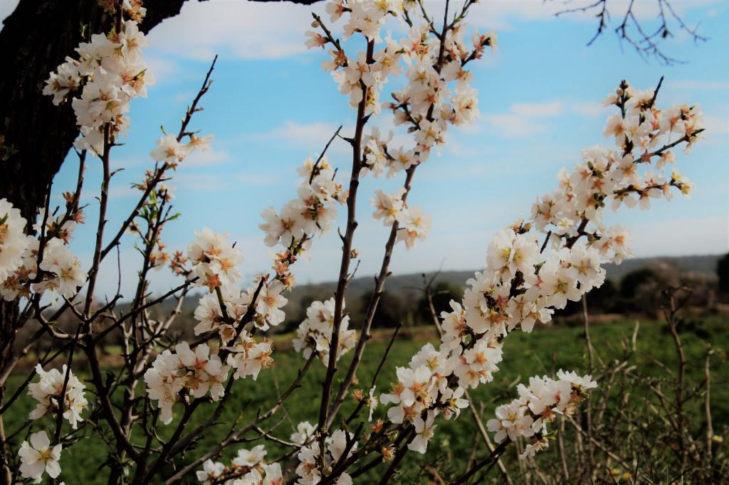 Mandelblüte auf Mallorca - lohnt sich