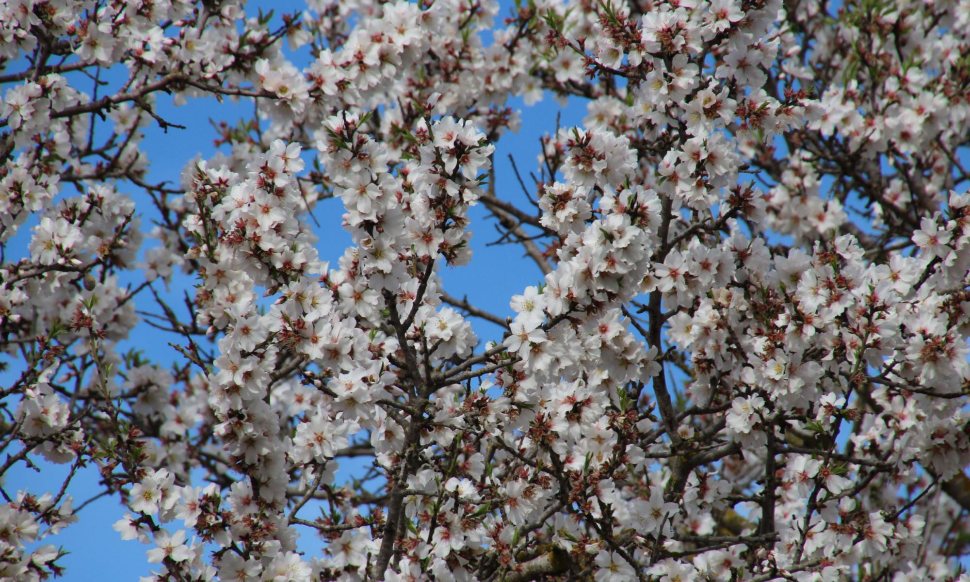 Auf zur Mandelblüte nach Mallorca 1