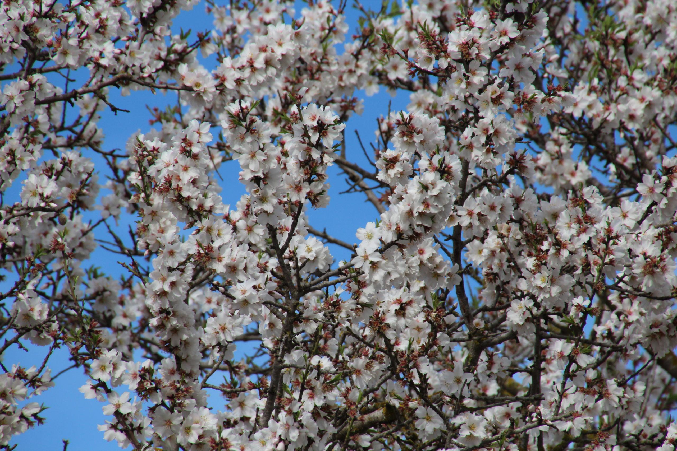 Auf zur Mandelblüte nach Mallorca - ein Highlight zu Jahresbeginn 2