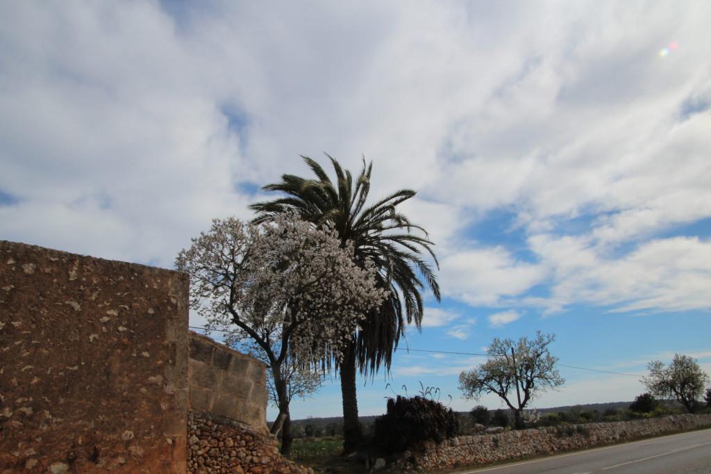 Palme trifft Mandelblüten