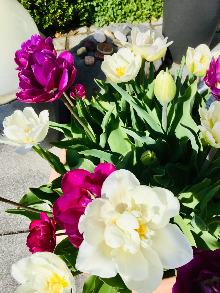 Super Summerfeeling im April - Tulpenpracht im Topf