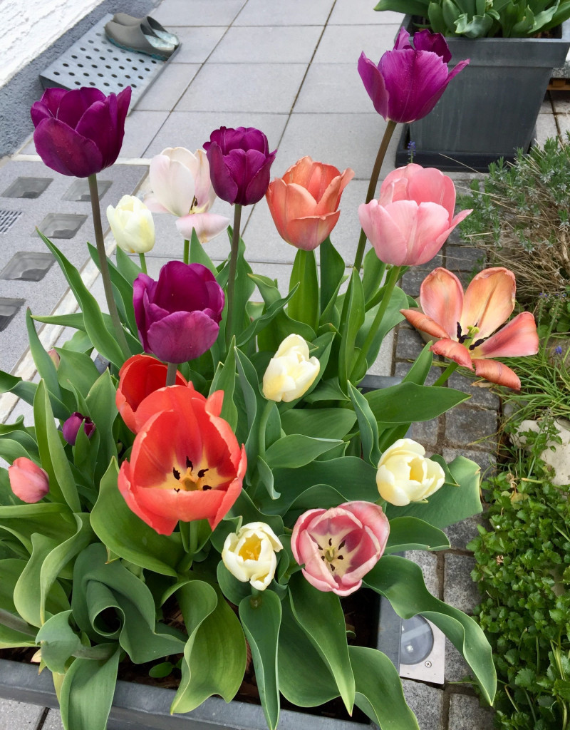 Super Summerfeeling im April - mixed tulips