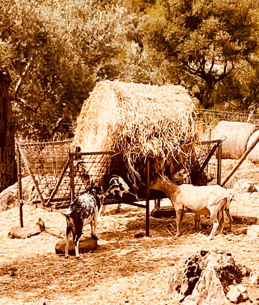 Alfabia - Hier wohnen die Ziegen